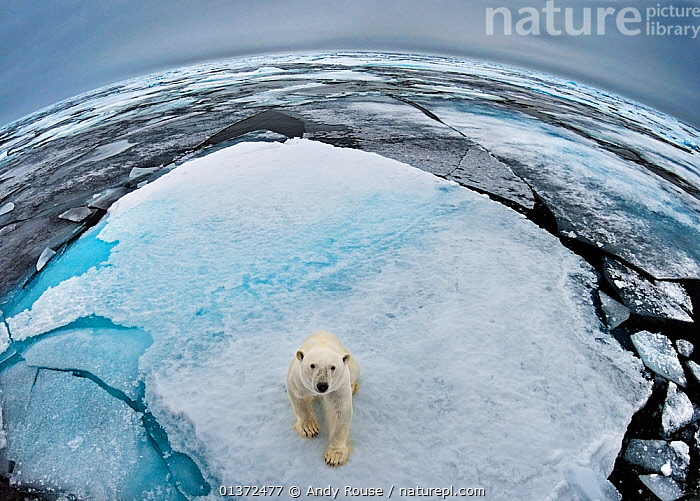 Polar Bear (Ursus maritimus) portrait in sea-ice landscape. Wide angle / fish-eye shot. Svalbard, Norway, September.  ,  animal portrait,anticipation,ARCTIC,ARTY SHOTS,BEARS,CARNIVORES,catalogue4,climate change,elevated view,ENDANGERED,EUROPE,fish eye lens,FISH EYE,Frozen,GLOBAL WARMING,HABITAT,hopeful,horizon,horizon over water,ICE,LANDSCAPES,looking up,looking at camera,MAMMALS,MARINE,melt,nature,Nobody,NORWAY,one animal,POLAR,PORTRAITS,sea,sea ice,seascapes,SITTING,spitsbergen,spitzbergen,Svalbard,thaw,VERTEBRATES,view from above,wide angle view,wide angle shots,WILDLIFE,Scandinavia  ,  Andy Rouse
