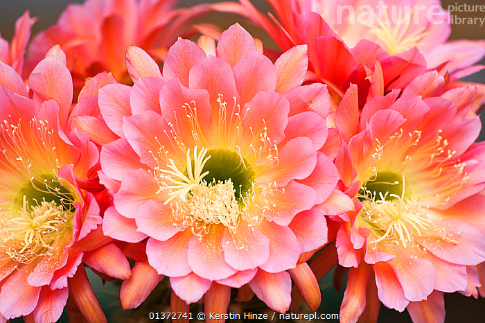 Cactus in flower (Trichocereus hybrid) cultivated, Germany  ,  CACTACEAE,CACTI,CACTUS,CLOSE UPS,DICOTYLEDONS,EUROPE,FLOWERING,FLOWERS,GERMANY,PLANTS  ,  Kerstin Hinze