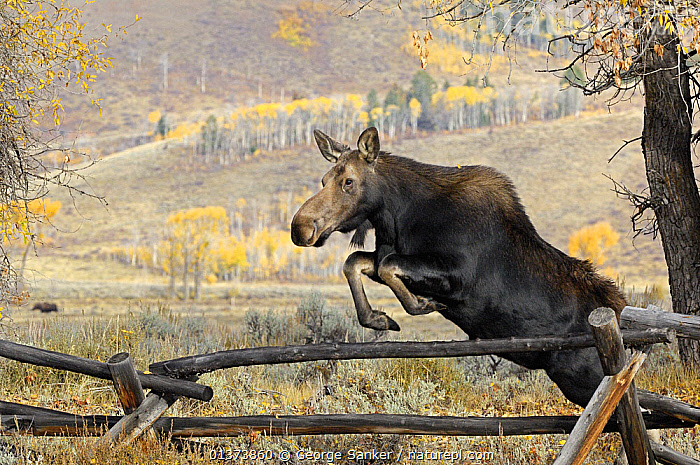 Moose (Alces alces) jumping a fence, Grand Teton National Park, Wyoming, USA, October, ACTION,ARTIODACTYLA,BEHAVIOUR,CERVIDS,DEER,JUMPING,MAMMALS,NORTH AMERICA,NP,RESERVE,USA,VERTEBRATES,National Park ,Rocky Mountains,, George Sanker