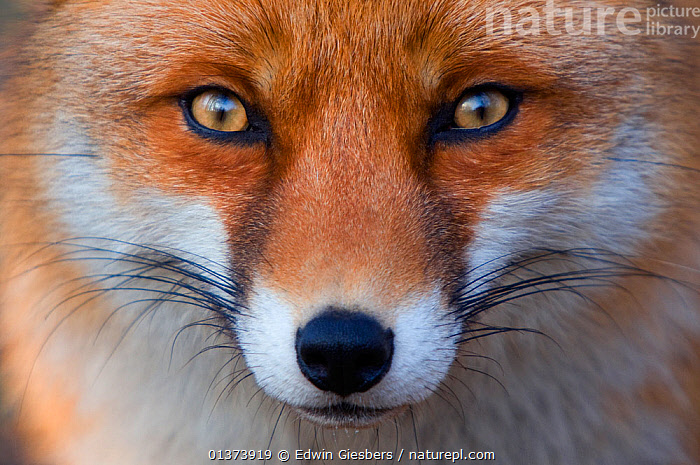 Red fox (Vulpes vulpes) portrait, captive, alert,animal eye,animal head,animal portrait,Canidae,CANIDS,CARNIVORES,catalogue4,close up,EYES,FACES,FOXES,full frame,FUR,HEADS,looking at camera,MAMMALS,Nobody,one animal,PORTRAITS,staring,VERTEBRATES,whiskers,WILDLIFE,Dogs, Edwin Giesbers