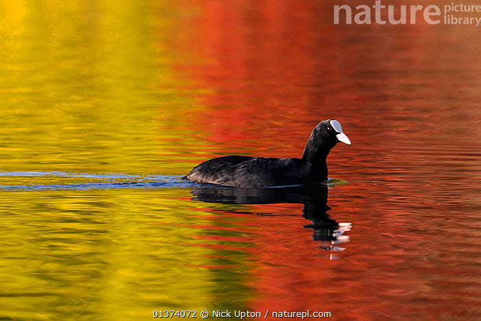Coot (Fulica atra) swims on lake with colourful autumnal tree leaves reflected in the water around its own reflection, Wiltshire, UK, October, AUTUMN,BIRDS,COLOURFUL,COOTS,EUROPE,GOLDEN,LAKES,RED,REFLECTIONS,UK,VERTEBRATES,WATERFOWL,United Kingdom, Nick Upton