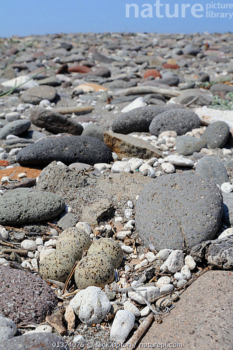 Little ringed plover (Charadrius dubius) nest on pebbly beach, with four well camouflaged eggs, Lesbos / Lesvos, Greece, May  ,  BEACHES,BIRDS,CAMOUFLAGE,CHARADRIIDAE,EGGS,EUROPE,FOUR,GREECE,NESTS,PEBBLES,PLOVERS,VERTEBRATES,VERTICAL,WADERS  ,  Nick Upton