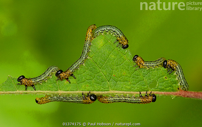 Birch Sawfly (Cimbex femoratus) feeding on a leaf. August, UK.  ,  ARTHROPODS,catalogue4,caterpillars,close up,EUROPE,FEEDING,Following,GREEN,GROUPS,HUMOROUS,HYMENOPTERA,INSECTS,INVERTEBRATES,LARVAE,leaf,LEAVES,medium group of animals,nature,Nobody,on the move,SAWFLIES,Togetherness,UK,WILDLIFE,Concepts,United Kingdom  ,  Paul Hobson