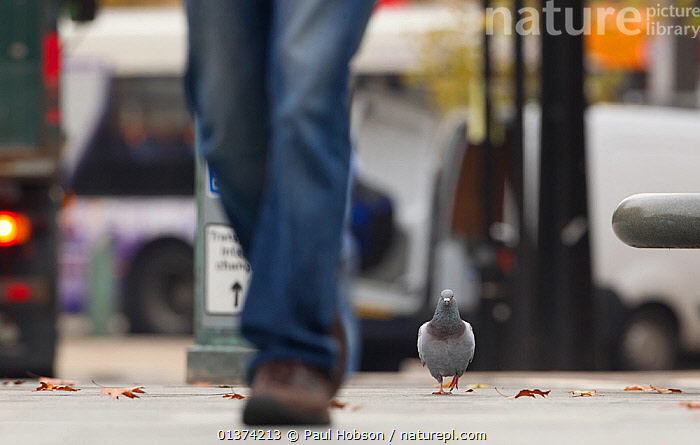 Feral Pigeon / Rock Dove (Columba livia) on city street. Sheffield, UK., BIRDS,catalogue4,CITIES,city,COLUMBIFORMES,denim,differential focus,DOVES,ENGLAND,EUROPE,focus on background,Following,jeans,LEGS,low section,MAN,man made,mid adult,nature,on the move,one,one animal,one man only,one person,outdoors,part of,pavement,pedestrian,PEOPLE,Pigeon,selective focus,Sheffield,street,TOWNS,UK,URBAN,VERTEBRATES,WALKING,WILDLIFE,United Kingdom,,urban,, Paul Hobson