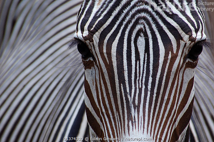 Grevy's zebra (Equus grevyi) close up, captive, ABSTRACT,AFRICA,animal head,animal marking,animal pattern,animal portrait,BLACK,black colour,captive animal,catalogue4,close up,close ups,ENDANGERED,Equidae,EYES,FACES,full frame,gentle,HEADS,looking at camera,MAMMALS,Nobody,one animal,PATTERNS,PERISSODACTYLA,PORTRAITS,SKIN,striped pattern,STRIPES,VERTEBRATES,WHITE,white colour,WILDLIFE,ZEBRAS,Equines, Edwin Giesbers