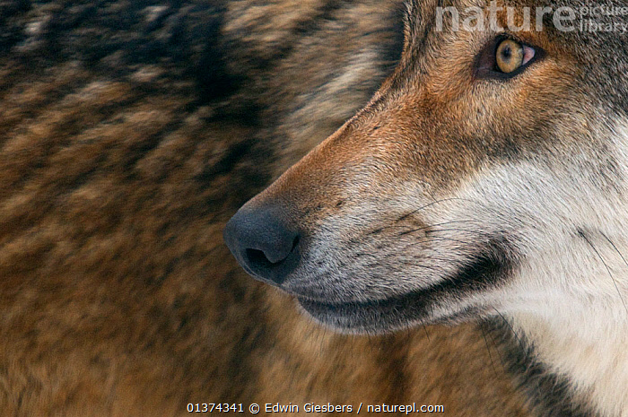 Grey wolf (Canis lupus) close up, captive, CANIDAE,CANIDS,CAPTIVE,CARNIVORES,CLOSE UPS,EUROPE,FACES,HEADS,MAMMALS,MOUTHS,NOSES,PORTRAITS,PROFILE,VERTEBRATES,WOLVES,Dogs, Edwin Giesbers