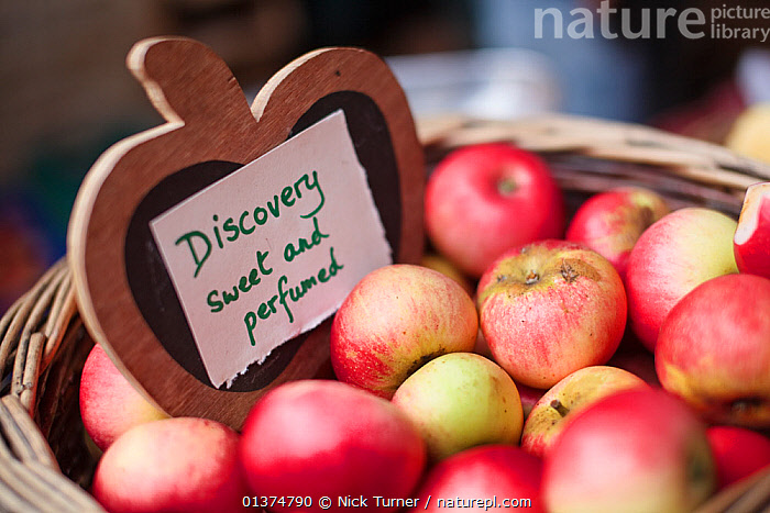 Hand picked heritage apples, Discovery, in a basket, Stroud Farmers Market, Stroud, Gloucestershire, UK, August 2011.  ,  Apple,basket,Baskets,catalogue4,close up,CLOSE UPS,cotswolds,differential focus,Discovery apple,EDIBLE,ENGLAND,english text,EUROPE,farmers market,FRUIT,Gloucestershire,handwriting,heritage,lettering,local produce,markets,medium group of objects,natural fibre,Nobody,RED,selective focus,Stroud,TRADE,UK,Plants,United Kingdom  ,  Nick Turner