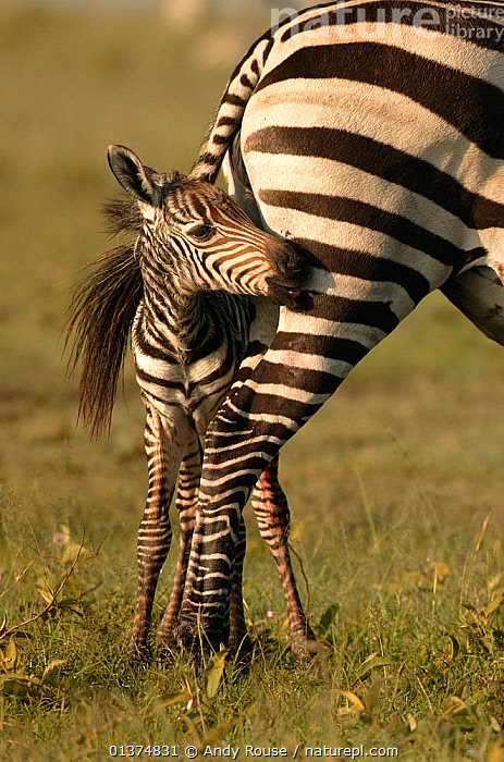 Burchell's Zebra (Equus quagga) foal hiding under its mother's tail. Masai Mara, Kenya., AFRICA,animal marking,animal markings,BABIES,BURCHELL'S ZEBRA,catalogue4,close up,CUTE,EAST AFRICA,fearful,foal,hiding,hind legs,Kenya,MAMMALS,Masai Mara,MOTHER BABY,Nobody,NP,PARENTAL,PERISSODACTYLA,protection,RESERVE,safari,SMALL,striped pattern,tail,timid,two,two animals,VERTEBRATES,VERTICAL,WILDLIFE,ZEBRAS,National Park,Equines, Andy Rouse