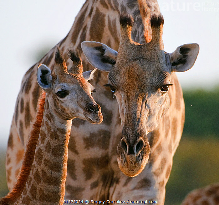 Giraffe (Giraffa camelopardalis) female bending down to calf, Okavango Delta, Botswana, affection,AFFECTIONATE,AFRICA,animal head,ARTIODACTYLA,atentive,BABIES,bending down,bending forwards,bonding,Botswana,catalogue4,close up,COMMUNICATION,confidence,CUTE,FACES,female animal,front view,GIRAFFES,GIRAFFIDS,HEADS,JUVENILE,listening,MAMMALS,mother and young,MOTHER BABY,motherhood,Nobody,Okavango delta,PARENTAL,Parenting,PORTRAITS,southern africa,SQUARE ,sunlight,two animals,VERTEBRATES,VERTICAL,WILDLIFE,YOUNG,young animal, Sergey Gorshkov