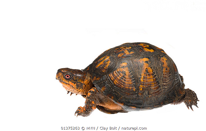 Eastern box turtle (Terrapene carolina) Dacusville, Pickens County, South Carolina, USA, May. meetyourneighbours.net project  ,  ANIMAL,CHELONIA,CUTOUT,DACUSVILLE,MEET YOUR NEIGHBOURS,ONE,PICKENS COUNTY,POND TURTLES,PORTRAITS,PROFILE,REPTILES,SHELL,SOUTH CAROLINA,USA,VERTEBRATES,WHITE BACKGROUND,North America,Turtles  ,  MYN / Clay Bolt