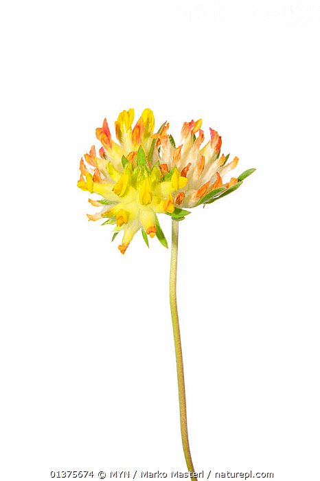 Common kidney vetch (Anthyllis vulneraria) in flower, Slovenia, Europe, June. meetyourneighbours.net project  ,  CUTOUT,DICOTYLEDONS,EUROPE,FABACEAE,FLOWERS,GRASSLAND,LEGUME,MEET YOUR NEIGHBOURS,ONE,PLANTS,SLOVENIA,VERTICAL,WHITE BACKGROUND,YELLOW  ,  MYN / Marko Masterl
