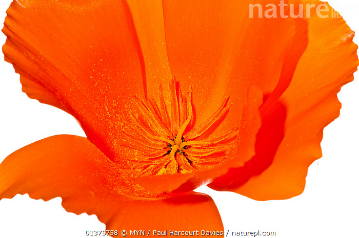 California poppy (Eschscholzia californica) the national flower of California naturalised areas of Europe, Italy, June.  meetyourneighbours.net project  ,  CLOSE-UPS, CUTOUT, DICOTYLEDONS, EUROPE, FLOWERS, ITALY, MEDITERRANEAN, meet your neighbours, PAPAVERACEAE, petals, PLANTS, PORTRAITS, RED, white background  ,  MYN / Paul Harcourt Davies