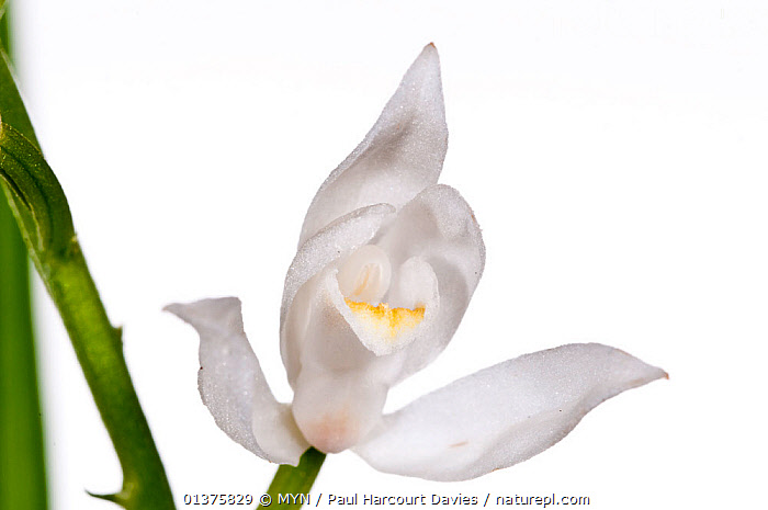 Sword-leaved helleborine (Cephalanthera longifolia)  Umbria, Italy, May.  meetyourneighbours.net project  ,  CUTOUT,EUROPE,FLOWERS,HELLEBORINES,ITALY,MEDITERRANEAN,MEET YOUR NEIGHBOURS,MONOCOTYLEDONS,ORCHIDACEAE,ORCHIDS,PLANTS,WHITE,WHITE BACKGROUND  ,  MYN / Paul Harcourt Davies