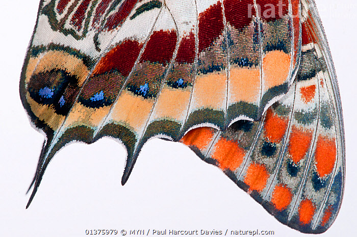 Two-tailed pasha butterfly (Charaxes jasius) close up of wings butterfly recently emerged from chrysalis, wings inflating, emergence sequence 11/15, Umbria, Italy, August.  meetyourneighbours.net project  ,  ARTHROPODS,BRUSH FOOTED BUTTERFLIES,BUTTERFLIES,CLOSE UPS,CUTOUT,EUROPE,INSECTS,INVERTEBRATES,ITALY,LEPIDOPTERA,MEDITERRANEAN,MEET YOUR NEIGHBOURS,NYMPHALIDAE,PATTERNS,SEQUENCE,WHITE BACKGROUND,WINGS  ,  MYN / Paul Harcourt Davies