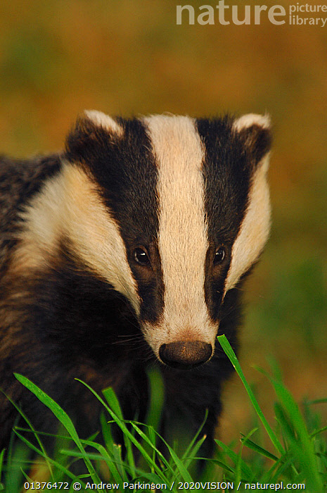 Portrait of an adult Badger (Meles meles), Derbyshire, UK  ,  2020VISION,BADGERS,CARNIVORES,ENGLAND,EUROPE,FULL FRAME,HEADS,LOOKING AT CAMERA,MAMMALS,MUSTELIDAE,PORTRAITS,UK,VERTEBRATES,VERTICAL,WOODLANDS,United Kingdom,2020cc  ,  Andrew Parkinson / 2020VISION