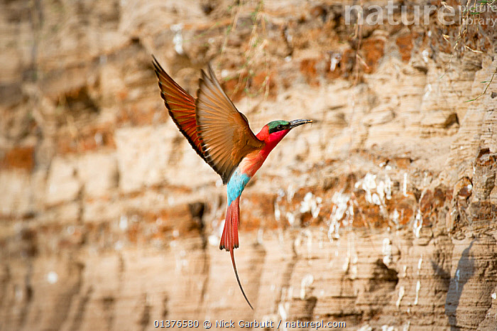 Southern Carmine bee-eater (Merops nubicoides) returning to nest hole in river bank, Luangwa River, South Luangwa National Park, Zambia, October  ,  AFRICA,BEE EATERS,BIRDS,COLOURFUL,FLYING,MEROPIDAE,NESTS,NP,RED,RIVERS,SOUTHERN AFRICA,VERTEBRATES,National Park  ,  Nick Garbutt