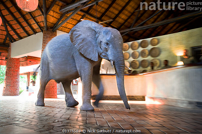 Juvenile African elephant (Loxodonta africana) wanders through a tourist safari lodge, Mfuwe Lodge, South Luangwa NP, Zambia, October  ,  AFRICA,an elephant in the room,BUILDINGS,catalogue4,ELEPHANTS,ENDANGERED,full length,INDOORS,JUVENILE,luangwa,MAMMALS,Mfuwe Lodge,Nobody,NP,one animal,PROBOSCIDS,safari,safari lodge,side view,South Luangwa,SOUTHERN AFRICA,TOURISM,VERTEBRATES,WALKING,WILDLIFE,zambia,National Park  ,  Nick Garbutt