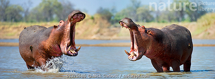 Adult male Hippopotamuses (Hippopotamus amphibius) posturing in agressive 'yawn' behaviour, Luangwa River, South Luangwa National Park, Zambia, November. Digital composite (two frames stitched together), AFRICA,AGGRESSION,agression,animal behaviour,ARTIODACTYLA,BEHAVIOUR,catalogue4,competition,digital composite,face to face,full length,hippo,HIPPOPOTAMUSES,HUMOROUS,Luangwa River,male animal,MALES,MAMMALS,MOUTHS,Nobody,NP,open mouth,river,RIVERS,side view,South Luangwa,STANDING,TEETH,two,two animals,VERTEBRATES,WATER,WILDLIFE,yawning,zambia,Concepts,National Park, Nick Garbutt