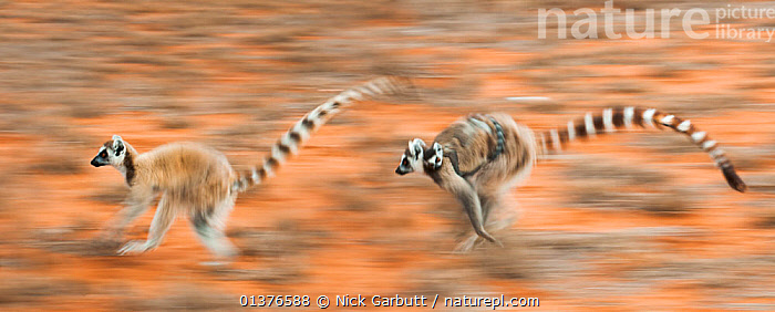 Two female Ring-tailed lemurs (Lemur catta) carrying infants (3-4 weeks) while running across open ground, Berenty Private Reserve, southern Madagascar. (digitally stitched image).  ,  ACTION,BABIES,FAMILIES,LEMURS,MADAGASCAR,MAMMALS,MOTHER BABY,MOVEMENT,PRIMATES,RESERVE,RUNNING,STITCH,TWO,VERTEBRATES  ,  Nick Garbutt