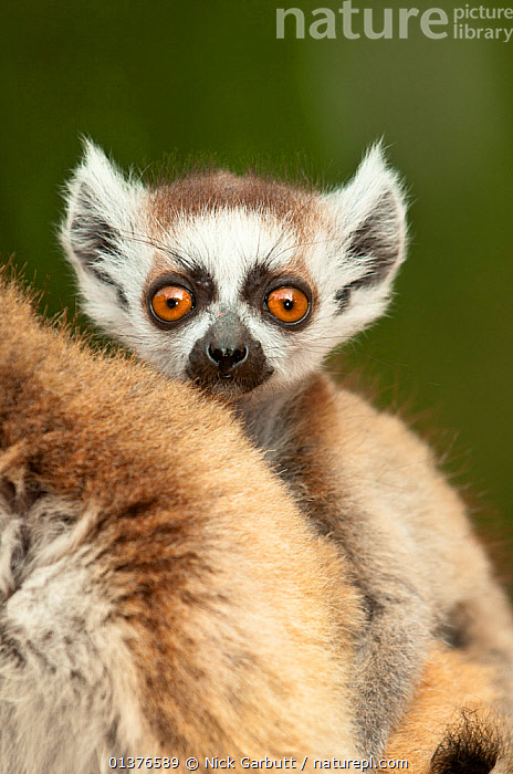 Young Ring-tailed lemur (Lemur catta) 6-8 weeks,  clinging to mother, Berenty Private Reserve, southern Madagascar, November  ,  BABIES,LEMURS,LOOKING AT CAMERA,MADAGASCAR,MAMMALS,PORTRAITS,PRIMATES,RESERVE,VERTEBRATES,VERTICAL  ,  Nick Garbutt