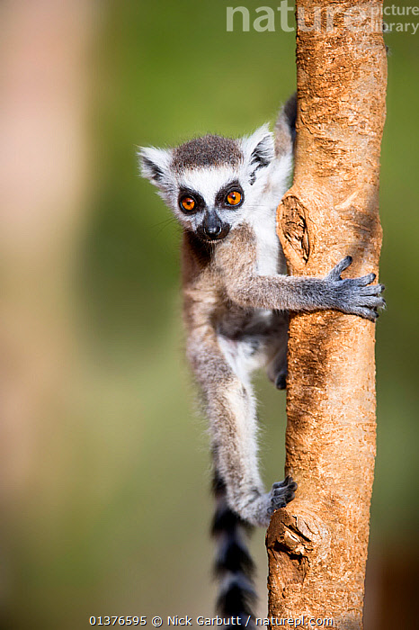 Young Ring-tailed lemur (Lemur catta) 6-8 weeks, climbing branch in low vegetation, Berenty Private Reserve, southern Madagascar, November  ,  BABIES,BEHAVIOUR,CLIMBING,CUTE,JUVENILE,LEMURS,MADAGASCAR,MAMMALS,PRIMATES,RESERVE,VERTEBRATES,VERTICAL  ,  Nick Garbutt