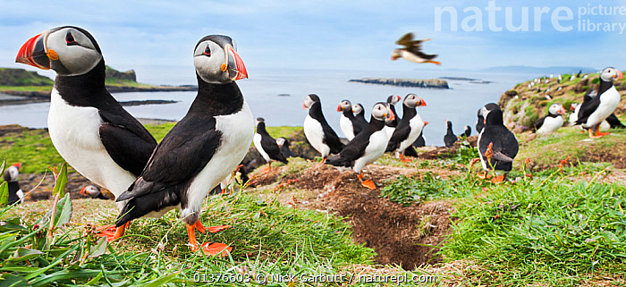 Atlantic puffins (Fratercula arctica) gathering around burrows on cliff top, Isle of Lunga, Treshnish Isles, Isle of Mull, Scotland, UK, June, atlantic puffin,AUKS,BIRDS,burrow,burrows,catalogue4,cliff top,CLIFFS,close up,coastal,COASTS,differential focus,EUROPE,FLOCKS,FLYING,focus on foreground,GROUPS,inner hebrides,Isle of Lunga,Isle of Mull,large group of animals,NESTS,Nobody,panoramic image,SCOTLAND,sea,SEABIRDS,selective focus,STANDING,Togetherness,Treshnish Isles,UK,UNDERGROUND,VERTEBRATES,view to sea,WILDLIFE,Geology,United Kingdom, Nick Garbutt