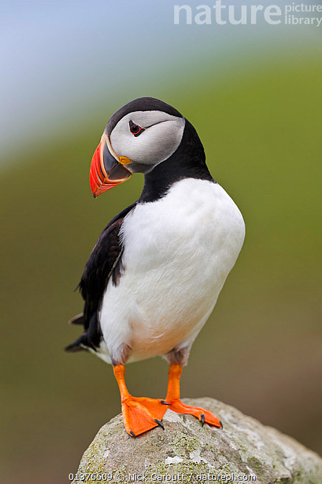 Atlantic puffin (Fratercula arctica) perched on rock, Isle of Lunga, Treshnish Isles, Isle of Mull, Scotland, UK, June.  ,  ATLANTIC PUFFIN,AUKS,BIRDS,COASTS,EUROPE,PORTRAITS,SCOTLAND,SEABIRDS,UK,VERTEBRATES,VERTICAL,United Kingdom , Inner Hebrides  ,  Nick Garbutt