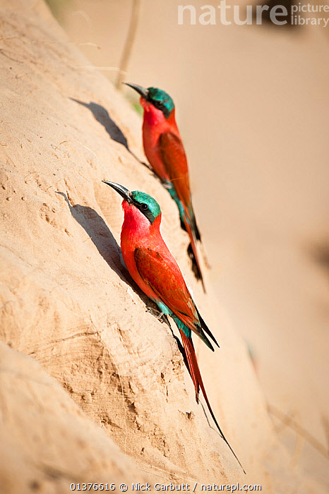 Southern Carmine bee-eaters (Merops nubicoides) near nest holes on the banks of the Luangwa River, South Luangwa National Park, Zambia, October  ,  AFRICA,BEE EATERS,BIRDS,COLOURFUL,MEROPIDAE,NESTS,RED,RIVERS,SOUTHERN AFRICA,TWO,VERTEBRATES,VERTICAL  ,  Nick Garbutt
