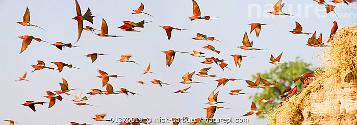 Flock of Southern carmine bee-eaters (Merops nubicoides) in flight from the banks of the Luangwa River, South Luangwa National Park, Zambia, October  ,  AFRICA,BEE EATERS,BEHAVIOUR,BIRDS,COLOURFUL,FLOCKS,FLYING,GROUPS,MEROPIDAE,RED,RIVERS,SOUTHERN AFRICA,VERTEBRATES  ,  Nick Garbutt