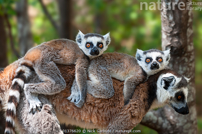 RF- Young Ring-tailed lemurs (Lemur catta) carried on mother's back, Madagascar. (This image may be licensed either as rights managed or royalty free.)  ,  BABIES,CUTE,FAMILIES,LEMURS,MADAGASCAR,MAMMALS,MOTHER-BABY,PRIMATES,twins,two,VERTEBRATES,LEMUR CATTA,Animal,Vertebrate,Mammal,Lemur,Ring-tailed lemur,Animalia,Animal,Wildlife,Vertebrate,Mammalia,Mammal,Primate,Primates,Lemuridae,Lemur,Prosimians,Lemur catta,Ring-tailed lemur,Maki mococo,Lying down,Lying On Front,Lay On Front,Laying On Front,Lays On Front,Lies On Front,Passenger,Laziness,Lazy,Lethargic,Lethargy,Service,Customer Service,Few,Three,Group,Nobody,Africa,Madagascar,Malagasy Republic,Republic of Madagascar,Hair,Fur,Outdoors,Family,Mother baby,Mother-baby,mother,Biodiversity hotspots,Biodiversity hotspot,Yellow Eyes,Direct Gaze,Parent baby,Three Animals,Carrying on back,Eye colour,Animal Hair,RF,Royalty free,RFCAT1,RF17Q1,  ,  Nick Garbutt