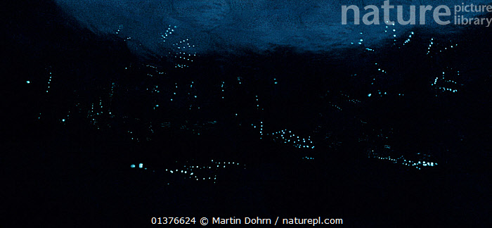 Stitched panoramic image of Ostracods using their light to display to mates. There are two species here, both from a new genus and neither of which has been properly described. At this stage, they are simply known as MSH (Medium Speed Horizontals) and SVU (Slow Vertical Uppers).  ,  BEHAVIOUR,BIOLUMINESCENCE,COURTSHIP,CRUSTACEANS,INVERTEBRATES,LIGHT,MARINE,NIGHT,OSTRACODS,,bioluminescence,  ,  Martin Dohrn
