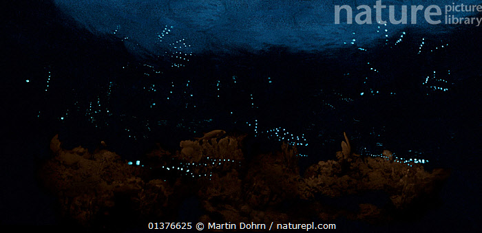 Stitched panoramic image of Ostracods using their light to display to mates. There are two species here, both from a new genus and neither of which has been properly described. At this stage, they are simply known as MSH (Medium Speed Horizontals) and SVU (Slow Vertical Uppers).  ,  BEHAVIOUR,BIOLUMINESCENCE,COURTSHIP,CRUSTACEANS,INVERTEBRATES,MARINE,NIGHT,OSTRACODS,REEF,STARLIGHT CAMERA,,bioluminescence,  ,  Martin Dohrn