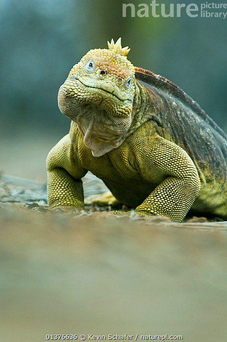 Galapagos land iguana (Conolophus subcristatus) Santa Cruz Is, Galapagos. Vulnerable species  ,  ENDANGERED,HEADS,LOOKING AT CAMERA,PROFILE,SMILING,VERTEBRATES,VULNERABLE,FACES,GALAPAGOS,IGUANAS,IGUANIDAE,LIZARDS,LOW ANGLE SHOT,PORTRAITS,REPTILES,VERTICAL,Catalogue5,,Lizards,,,Lizards,  ,  Kevin Schafer