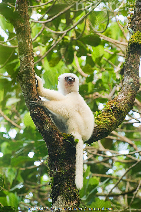 Silky sifaka lemur (Propithecus diadema candidus) sitting in tree, Marojejy National Park, Madagascar. Critically endangered species.  ,  CRITICALLY ENDANGERED,FLUFFY,LEMURS,MAMMALS,PORTRAITS,PRIMATES,SIFAKAS,TREES,VERTICAL,AFRICA,ENDANGERED,INDRIIDAE,LEAVES,MADAGASCAR,NP,PROFILE,VERTEBRATES,WHITE,National Park,PLANTS  ,  Kevin Schafer