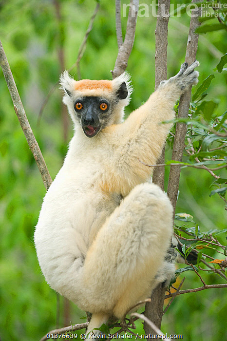 Golden-crowned / Tattersall's sifaka (Propithecus tattersalli) clinging to branch, Fanamby Reserve, Daraina, Madagascar. Endangered species.  ,  BRANCHES,FLUFFY,FORESTS,LEMURS,MAMMALS,PORTRAITS,PRIMATES,SIFAKAS,TREES,VERTICAL,AFRICA,CUTE,ENDANGERED,INDRIIDAE,LOOKING AT CAMERA,MADAGASCAR,RESERVE,VERTEBRATES,WHITE,PLANTS  ,  Kevin Schafer