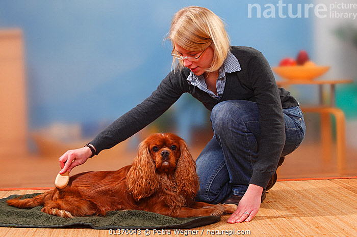 Woman brushing Cavalier King Charles Spaniel, ruby / brush. Model released  ,  CANIDAE,DOG,DOGS,INDOORS,MAMMALS,STUDIO,TOY DOGS	,FEMALES,GROOMING,LYING,PEOPLE,PET CARE,PETS,SMALL DOGS	,VERTEBRATES,Canids  ,  Petra Wegner