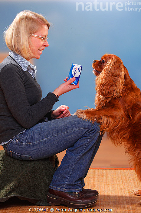 Woman sitting holding tissues s with Cavalier King Charles Spaniel, ruby, male with paws on her knees Model released  ,  CANIDAE,DOG,DOGS,INDOORS,MAMMALS,SITTING,STUDIO,TOY DOGS,VERTICAL,FEMALES,MALES,PEOPLE,PETS,SMALL DOGS,VERTEBRATES,Canids  ,  Petra Wegner