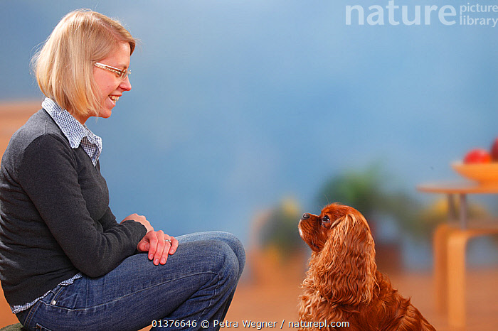 Woman sitting with Cavalier King Charles Spaniel, ruby, male. Model released  ,  CANIDAE,DOG,DOGS,INDOORS,MAMMALS,SITTING,STUDIO,TOY DOGS	,FEMALES,MALES,PEOPLE,PETS,SMALL DOGS	,VERTEBRATES,Canids  ,  Petra Wegner
