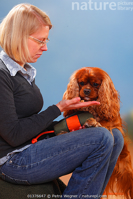 Woman sitting giving treat to Cavalier King Charles Spaniel, ruby, male Model released  ,  CANIDAE,DOG,DOGS,INDOORS,MAMMALS,STUDIO,TOY DOGS	,TRAINING,VERTICAL,BEHAVIOUR,FEMALES,MALES,PEOPLE,PETS,SMALL DOGS	,VERTEBRATES,Canids  ,  Petra Wegner