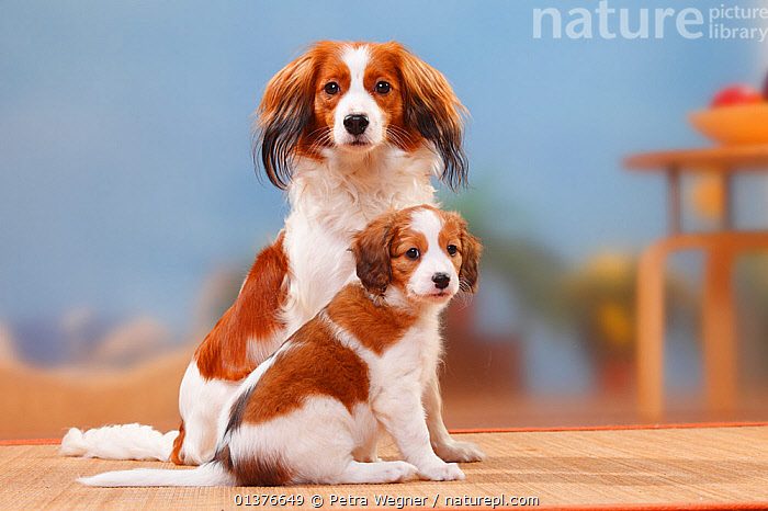 Small Dutch Waterfowl Dog / Kooikerhondje bitch sitting with puppy, 8 weeks.  ,  BABIES,CANIDAE,COLOUR COORDINATED,DOG,DOGS,FAMILIES,FEMALES,GUNDOGS,INDOORS,LOOKING AT CAMERA,MAMMALS,MEDIUM DOGS,MOTHER BABY,PETS,PORTRAITS,PUPPY,SITTING,STUDIO,TWO,VERTEBRATES,YOUNG,Canids  ,  Petra Wegner