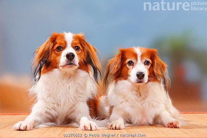 Small Dutch Waterfowl dog / Kooikerhondje male and old bitch, lying, 11 years of age.  ,  FEMALES,GUNDOGS	,MALES,PETS,VERTEBRATES,CANIDAE,DOG,DOGS,INDOORS,LOOKING AT CAMERA,MAMMALS,MEDIUM DOGS,PORTRAITS,STUDIO,TWO,Canids  ,  Petra Wegner