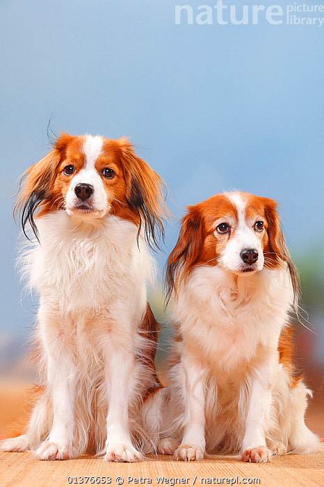 Small Dutch Waterfowl dog / Kooikerhondje male and old bitch sitting, 11 years of age.  ,  CANIDAE,COPYSPACE,DOG,DOGS,INDOORS,MAMMALS,MEDIUM DOGS,OLD,PORTRAITS,STUDIO,TWO,VERTICAL,FEMALES,GUNDOGS	,MALES,MATURE,PETS,VERTEBRATES,Canids  ,  Petra Wegner