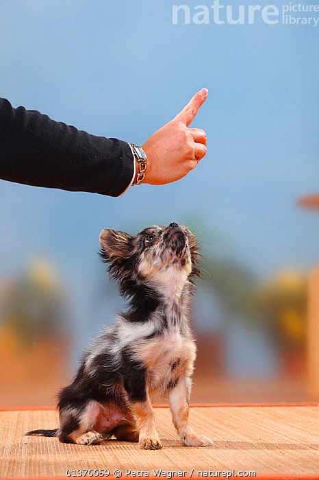 Longhaired blue-merle Chihuahua puppy, 17 weeks, learning to sit. Model released  ,  BEHAVIOUR,PEOPLE,PETS,SMALL DOGS,VERTEBRATES,YOUNG,BABIES,CANIDAE,DOG,DOGS,HANDS,INDOORS,MAMMALS,STUDIO,TOY DOGS,TRAINING,VERTICAL,Canids  ,  Petra Wegner