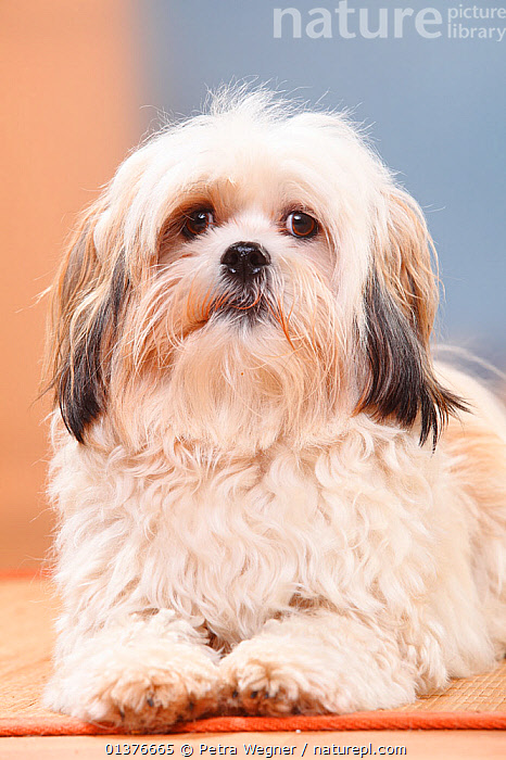 Mixed breed white dog lying down looking at camera  ,  CANIDAE,DOG,DOGS,INDOORS,LOOKING AT CAMERA,MAMMALS,MIXED BREED,PORTRAITS,STUDIO,VERTICAL,CROSS BREED,HALF BREED,LONG HAIRED,MONGREL,PETS,VERTEBRATES,Canids  ,  Petra Wegner