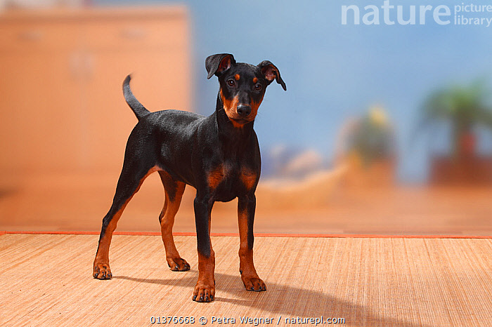 German Pinscher puppy, 17 weeks, standing.  ,  BABIES,BLACK,CANIDAE,DOG,DOGS,INDOORS,JUVENILE,LOOKING AT CAMERA,MAMMALS,MEDIUM DOGS,PETS,PORTRAITS,STANDING,STUDIO,TAN,VERTEBRATES,WORKING DOGS,YOUNG,Canids  ,  Petra Wegner