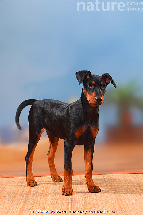 German Pinscher puppy, 17 weeks, standing.  ,  BABIES,BLACK,CANIDAE,DOG,DOGS,INDOORS,JUVENILE,LOOKING AT CAMERA,MAMMALS,MEDIUM DOGS,PETS,PORTRAITS,STANDING,STUDIO,TAN,VERTEBRATES,VERTICAL,WORKING DOGS,YOUNG,Canids  ,  Petra Wegner