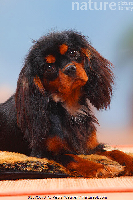 Cavalier King Charles Spaniel, bitch, black-and-tan, 9 months, head portrait.  ,  BABIES,CUTE,DOG,DOGS,EYES,FEMALES,INDOORS,JUVENILE,LOOKING AT CAMERA,MAMMALS,PETS,PORTRAITS,PROFILE,SMALL DOGS,STUDIO,TOY DOGS,VERTICAL,YOUNG,Canids  ,  Petra Wegner