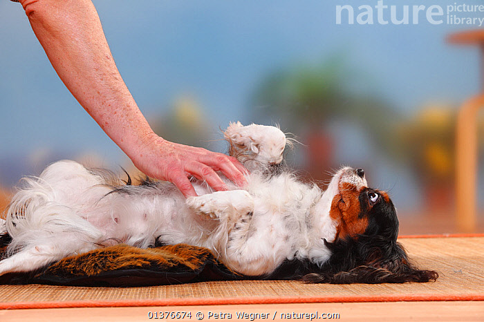 Cavalier King Charles Spaniel, bitch, tricolour, having her belly rubbed. Model released  ,  CANIDAE,DOG,DOGS,INDOORS,MAMALS,MAMMALS,PLAY,PLAYING,STUDIO,TICKLED,TOY DOGS,DOMESTIC DOGS,FEMALES,HAND,PEOPLE,PETS,SMALL DOGS,STOMACH,VERTEBRATES,Communication,Canids  ,  Petra Wegner