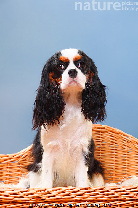 Cavalier King Charles Spaniel, bitch, tricolour sitting in basket.  ,  BASKET,CANIDAE,COPYSPACE,CUTE,DOG,DOGS,DOMESTIC DOGS,FEMALES,INDOORS,LOOKING AT CAMERA,MAMMALS,PETS,PORTRAITS,SITTING,SMALL DOGS,STUDIO,TOY DOGS,VERTEBRATES,VERTICAL,Canids  ,  Petra Wegner