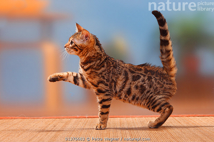 Bengal cat, male kitten, 3 months, with one paw up.  ,  BABIES,BEHAVIOUR,CAT,CATS,FELIDAE,FELIS,INDOORS,JUVENILE,KITTENS,LOOKING AT CAMERA,MALES,MAMMALS,PETS,PLAY,PLAYING,PROFILE,STUDIO,VERTEBRATES,YOUNG,Communication  ,  Petra Wegner